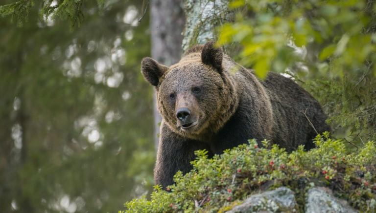 Delirio in Trentino: Fugatti vorrebbe catturare un altro orso... e poi i lupi!