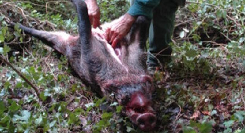 Eviscerazione di un cinghiale appena uccisio: pratica vicina a quanto accade nei wet market