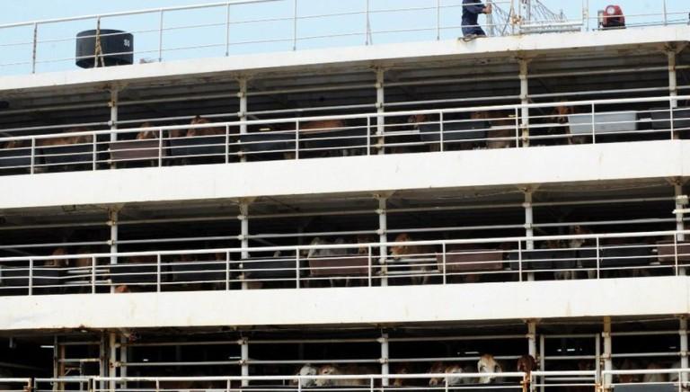 Trasporto di animali: nave con 5867 bovini affondata nel mare cinese
