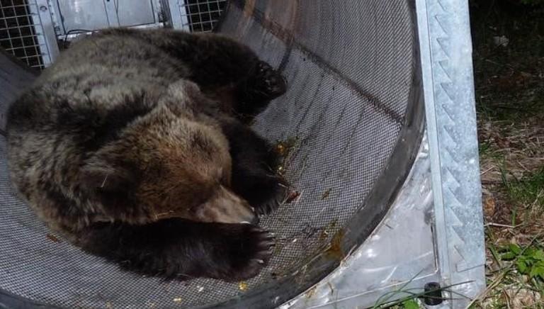 Cattura M49: basta accanimento, l'orso deve essere rimesso in liberta'