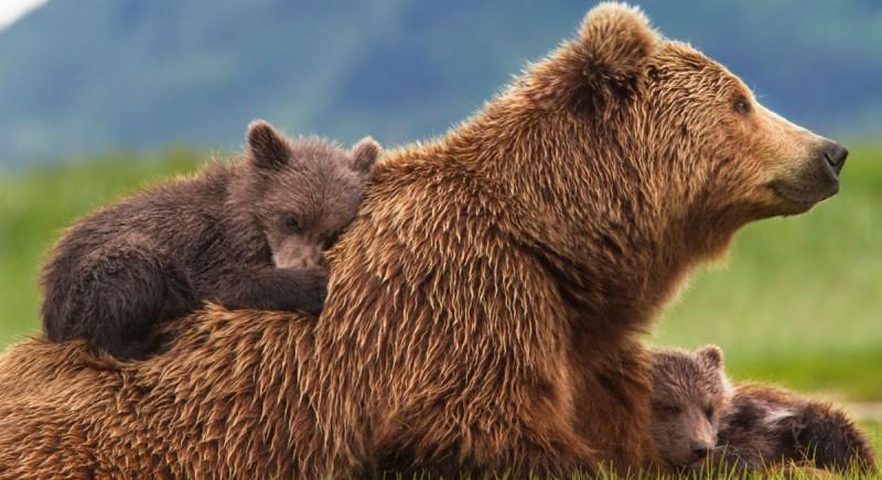 Vittoria: TAR Trento sospende la cattura dell'orsa JJ4. Ora si liberi M49!