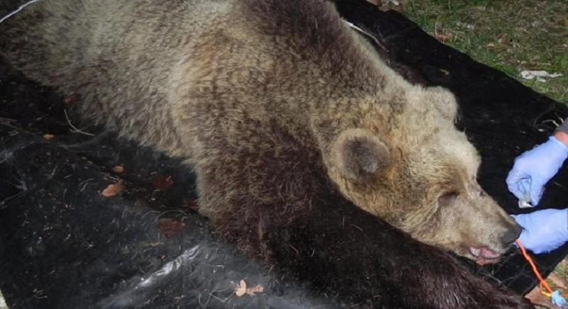 L'orsa KJ2 in una foto presa dal web
