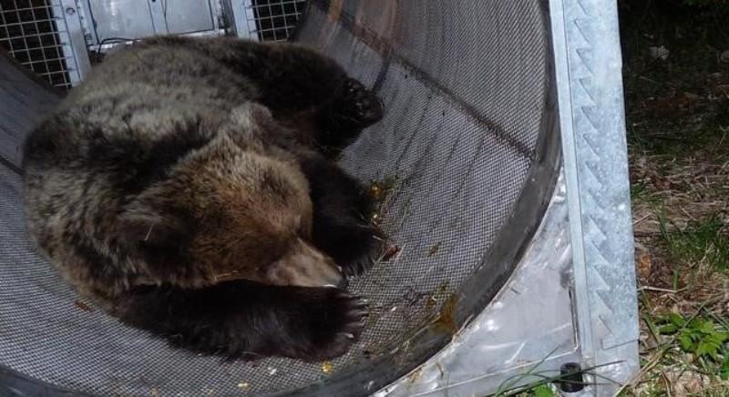 Ispezione Carabinieri: psicofarmaci su orsi Casteller. Intervenga Min. Costa