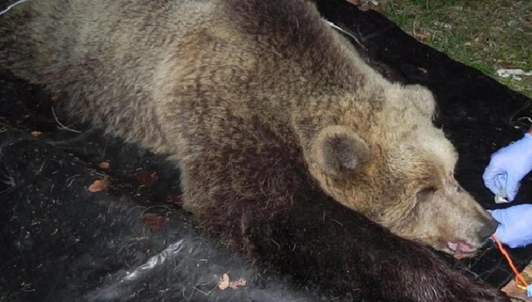 Processo uccisione dell'orsa KJ2: LAV parte civile nel giudizio contro mandanti