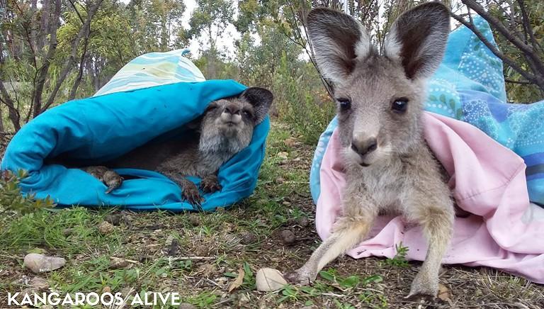 """Cuccioli di canguro: la strage """"segreta"""" dell'Australia. #SALVACANGURI"""