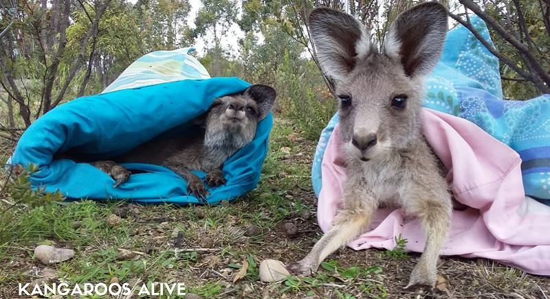 Cuccioli di canguro salvati (C) Kangaroos Alive