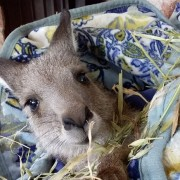 Cucciolo di canguro salvato (C) Kangaroos Alive
