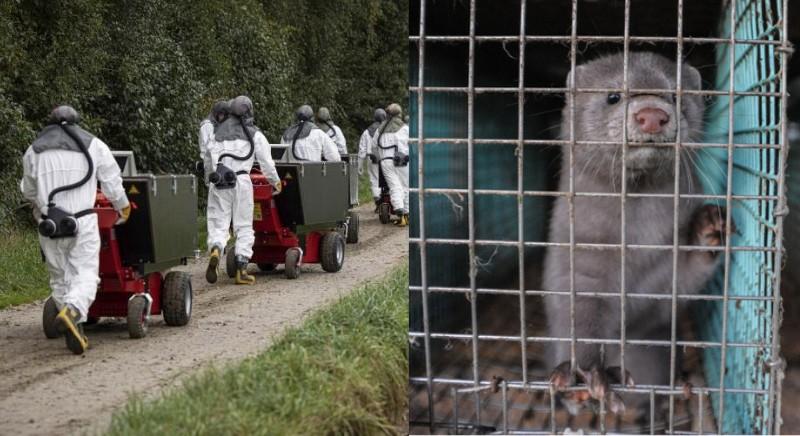 Covid 19: virus mutato in visoni allevati in Danimarca. Chiudere quelli italiani
