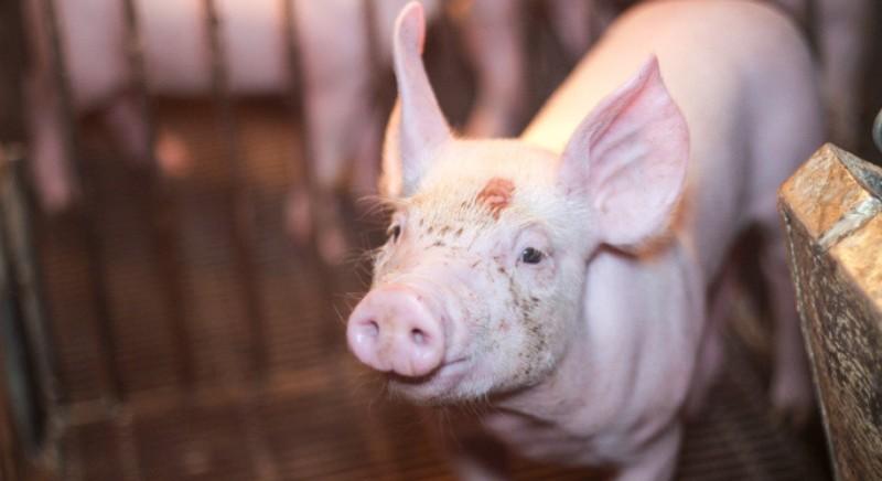 SADS-CoV: il pericoloso coronavirus che presto potrebbe venire dai maiali