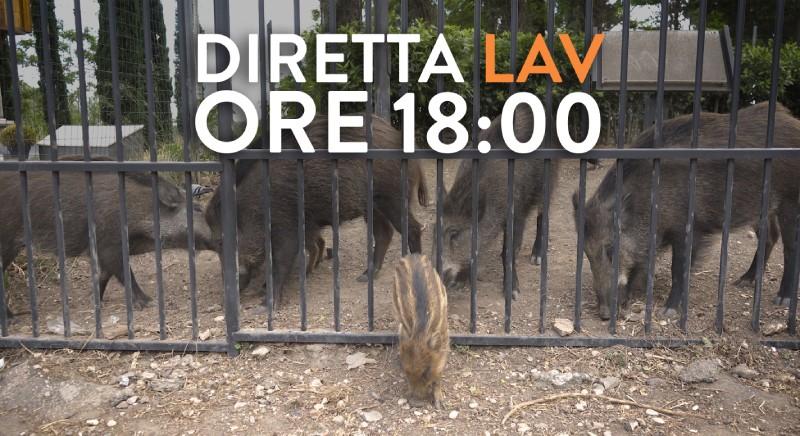 Uccisione cinghiali a Roma: ne parliamo oggi alle 18 #INDIRETTACONLAV