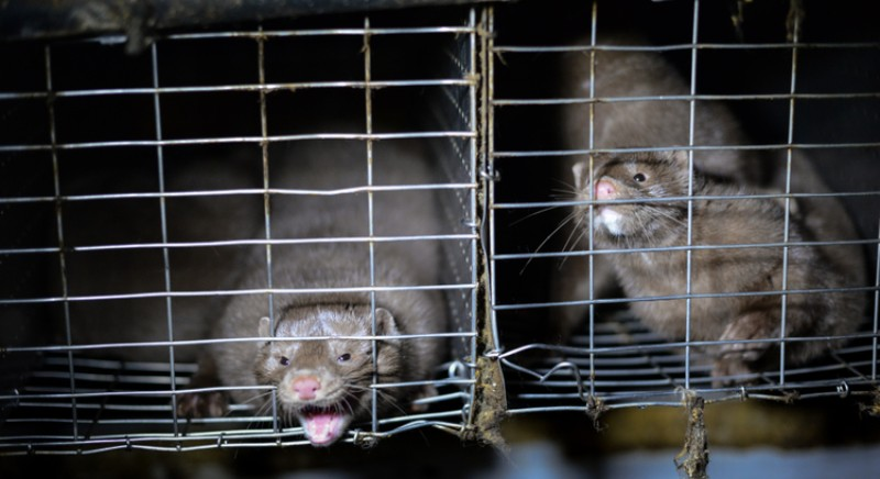 Covid and mink: outbreak in mink farm in Italy, already in August