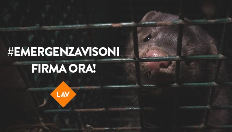 #EMERGENZAVISONI firma la petizione per chiedere la fine dell'allevamento