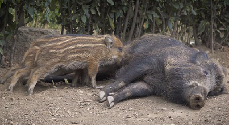 26 veterinari difendono uccisione cinghiali a Roma!