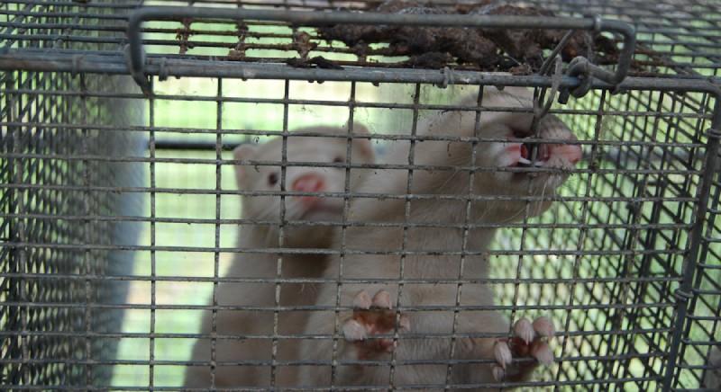 Covid e animali allevati per pellicce: oggi si celebra lo shopping fur-free