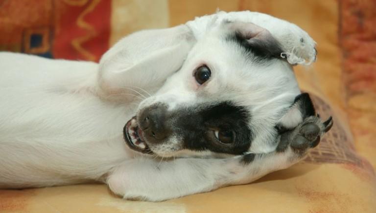 Kit taglio orecchie cane, in vendita su Amazon: illegale, rimuovere annuncio