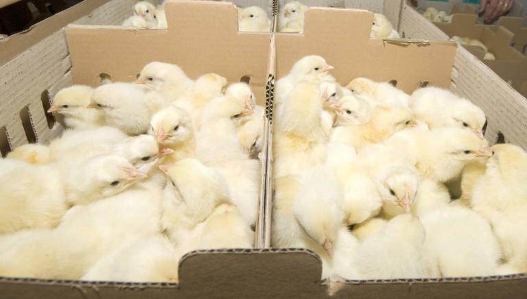 Deforestazione e allevamento polli: il legame che non vediamo