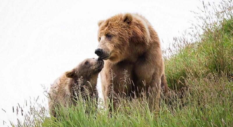 L'orsa JJ4 resta libera! Consiglio di Stato sospende Ordinanza cattura