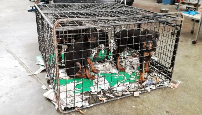 Tagliarono coda e orecchie a 12 cuccioli: iniziato processo a Verona