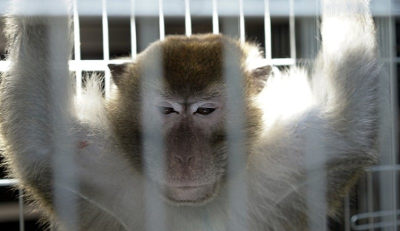 The Italian State Council has decided: tests on macaque monkeys can be resumed