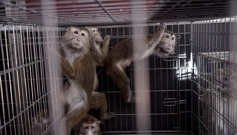 Sperimentazione animale: Universita' di Verona smette ricerca con primati