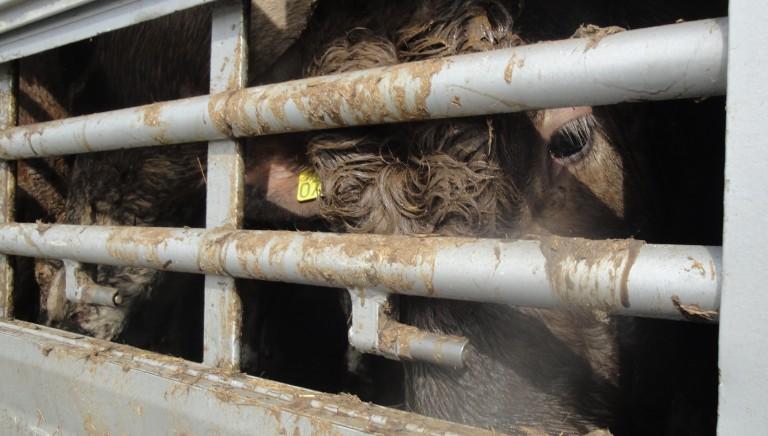 Nave con 800 bovini a bordo da due mesi. Abbiamo scritto al Ministro
