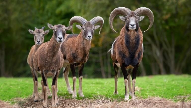 LAV al Ministro Cingolani: fermare il massacro di mufloni su Isola del Giglio!