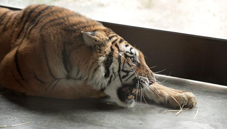 Traffico di tigri. Italia e Francia i Paesi piu' coinvolti. Interrogazione a Governo