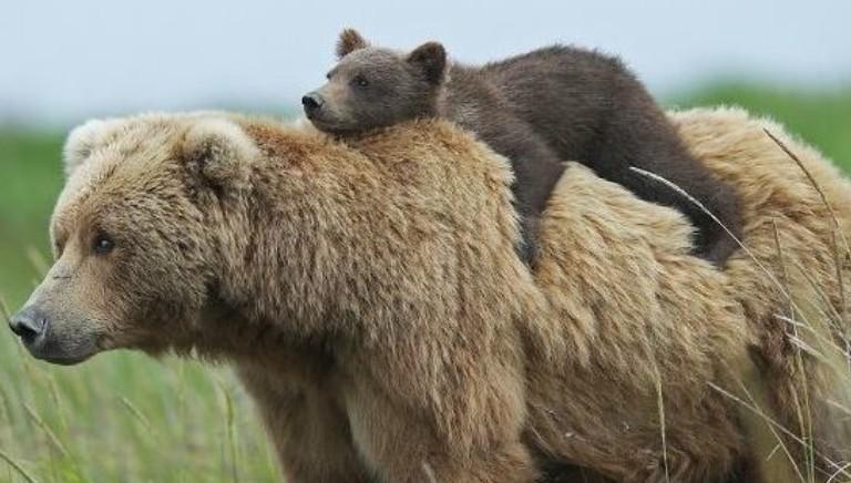 Vittoria: l'orsa JJ4 resta libera! TAR Trento accoglie ricorso LAV
