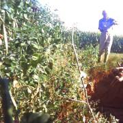 un operatore butta il corpicino di un maialino nella fossa