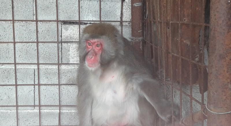 Macaco sequestrato nel salernitano. Urgente stop a detenzione e commercio