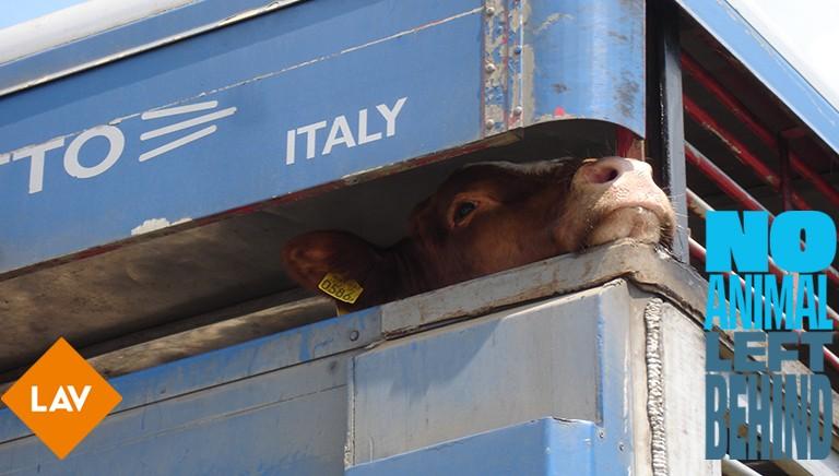 NO ANIMAL LEFT BEHIND: cambiare leggi UE su trasporto animali vivi