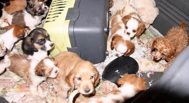 Traffico cuccioli: 40 denunce per maltrattamento e traffico internazionale