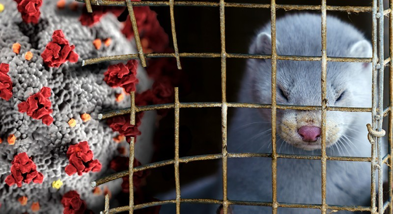 Covid and mink farming: the EU is moving towards the ban of fur farming