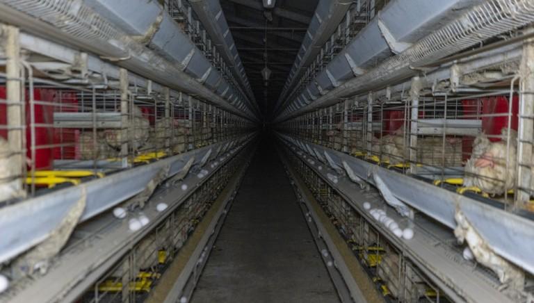 NO a nuovo allevamento ovaiole con 40 mila galline a Montefiascone (Vt)