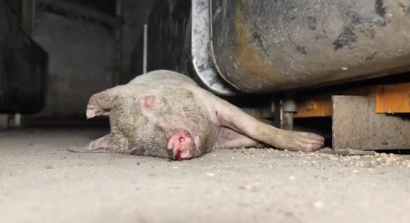 Carcasse in allevamento maiali: no a archiviazione nostra denuncia