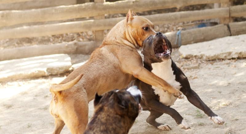un combattimento tra cani (C) LAV