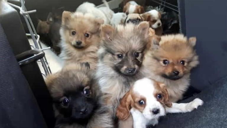 Traffico cuccioli: fenomeno zoomafioso che non conosce crisi