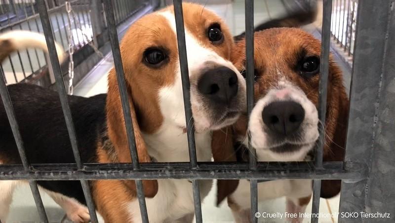 Beagle alla Aptuit di Verona: sabato 18 settembre manifestazione per la loro liberazione