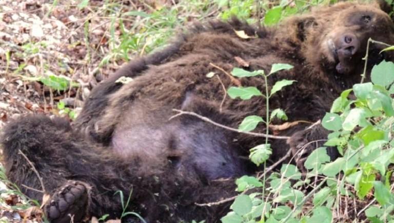 Condanna confermata per l'uomo che ha ucciso un orso a Pettorano (Aq) nel 2014