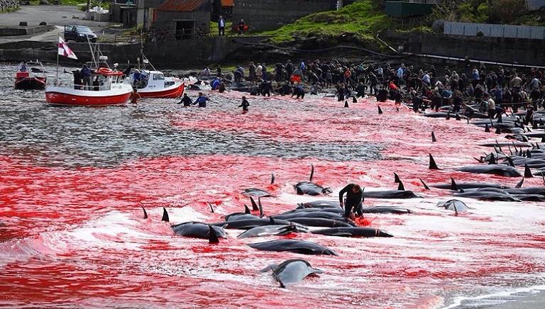 Isole Faroe: la peggiore mattanza degli ultimi anni. Vietare massacro di cetacei!