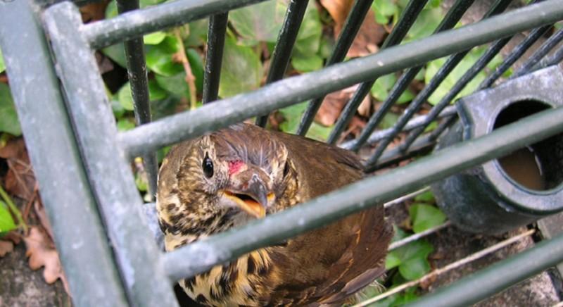 Traffico di uccelli da richiamo: tre condanne a Udine, grazie a nostro contributo