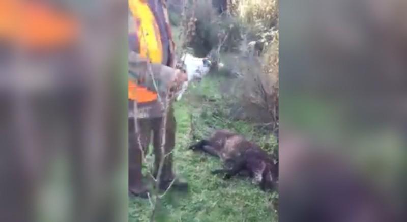 Cinghiale agonizzante in balia dei morsi del cane: denunciamo i cacciatori per maltrattamento