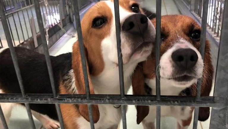 Beagle alla Aptuit di Verona: LAV al lavoro su piu' fronti per salvarli