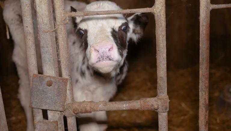 Il 'benessere' dei vitelli non lo troverete qui! La pretesa di sostenibilita' di Assocarni
