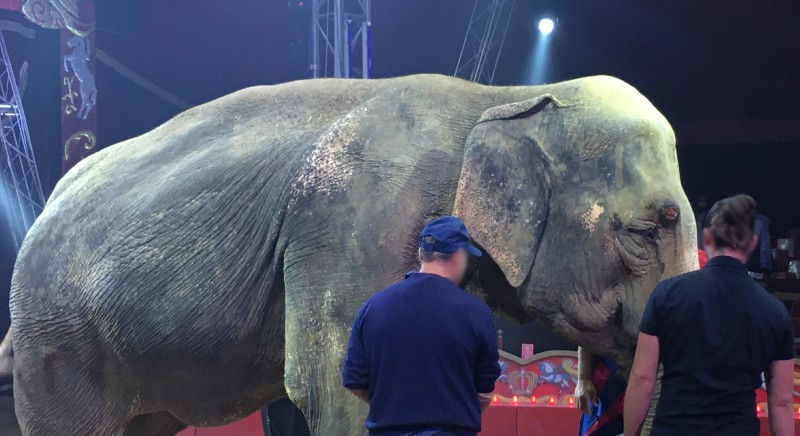 Morta Andra, elefantessa circo Rolando Orfei. Appello a Franceschini: subito legge stop uso animali