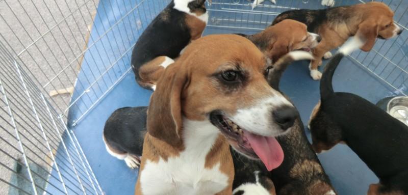 I beagle al campo organizzato ricevono le prime cure