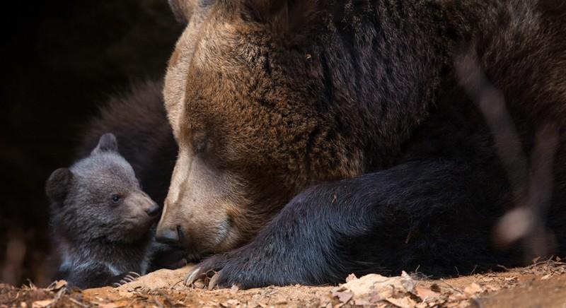 La storia dell'orsa JJ4