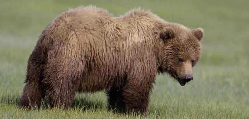 Il ritorno degli orsi in Trentino