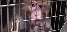 Vivisezione all' Università romana La Sapienza: Striscia smaschera le atrocità e le bugie dei vivisettori