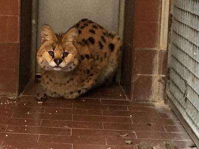 IL caso del gattopardo, il traffico di specie protette e detenzione illegale